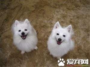 银狐犬吃什么最好 银狐犬食物的选择