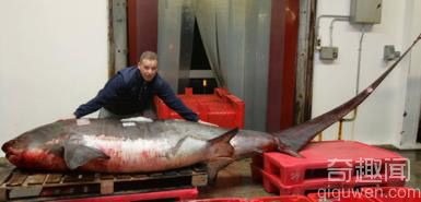 诺维尔展示世界上最大最长的长尾鲨